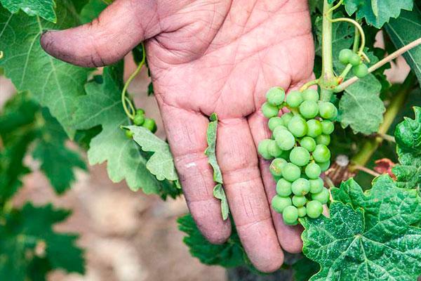 Bodegas Ondalán. Viticultura